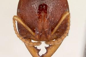 [Amblyopone australis] head. Image: April Nobile (Specimen code: CASENT0104578). www.antweb.org