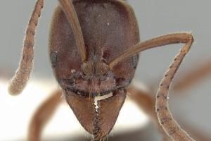 [Austroponera castanea] head. Image: Ryan Perry (Specimen code: CASENT0249168). www.antweb.org