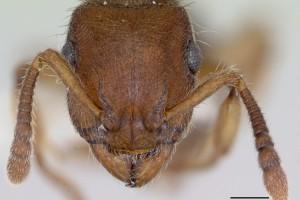 [Heteroponera brounii] head. Image: April Nobile (Specimen code: CASENT0172957). www.antweb.org