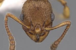 [Huberia brounii] head. Image: Wade Lee (Specimen code: CASENT0923012). www.antweb.org