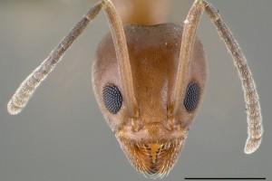[Linepithema humile] head. Image: April Nobile (Specimen code: CASENT0006020). www.antweb.org