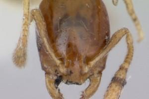 [Monomorium antipodum] head. Image: April Nobile (Specimen code: CASENT0172940). www.antweb.org