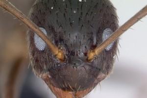 [Nylanderia] spp head. Image: April Nobile (Specimen code: CASENT0173886). www.antweb.org
