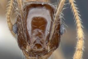 [Pheidole megacephala] head. Image: Adam Lazarus (Specimen code: ANTWEB1008103). www.antweb.org