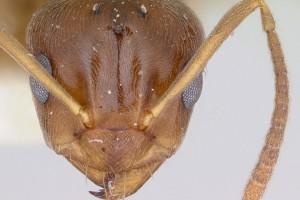 [Prolasius advena] head. Image: April Nobile (Specimen code: CASENT0172948). www.antweb.org