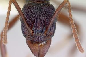 [Rhytidoponera chalybaea] head. Image: April Nobile (Specimen code: CASENT0172343). www.antweb.org