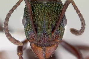 [Rhytidoponera metallica] head. Image: April Nobile (Specimen code: CASENT0172345). www.antweb.org