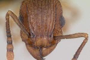 [Tetramorium bicarinatum] head. Image: April Nobile (Specimen code: CASENT0060334). www.antweb.org