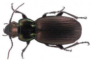 beetle thumb