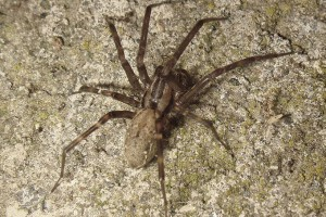 Sheetweb spider: Image: Phil Bendle Collection
