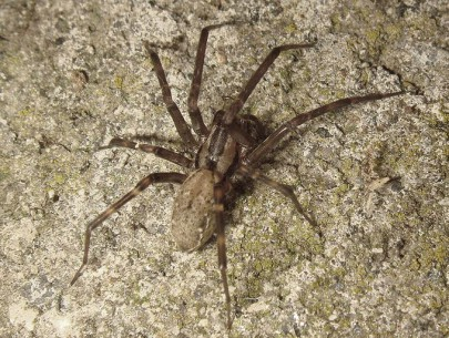 Sheetweb spider.