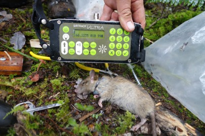 A rat fitted with a radio collar in Lake Alabaster, Fiordland.