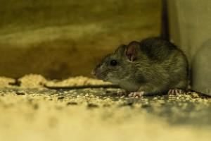 Rat. Image: Bradley White