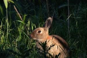 Rabbit. Image: John Hunt