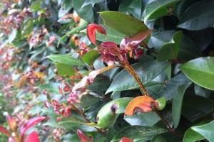 LIlly pilly hedge infected with myrtle rust. Image © Brett Farmer.