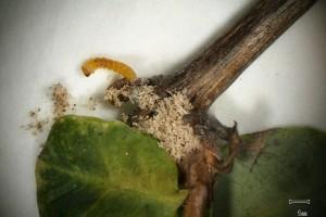 Oberea larvae