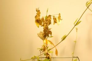 Honeysuckle longhorn beetle (Oberea shirahatai) damage