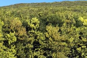acacia longifolia area invadida serra