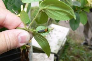 honeysuckle longhorn beetle