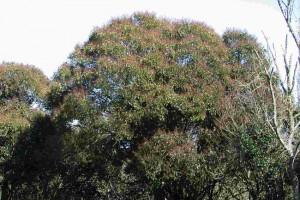 privet tree