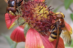 Figure 1. Male (L) and female (R) [Volucella zonaria] hoverflies feeding on a flower in Manaaki Whenua – Landcare Research's containment facility in Lincoln.