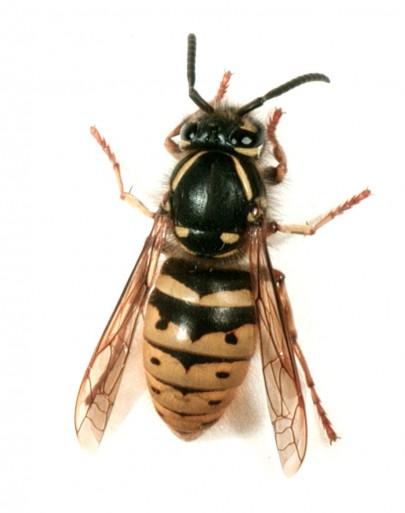 Common wasps [Vespula vulgaris]
