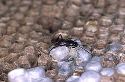 Wasp parasitoid searching wasp comb for place to lay eggs.