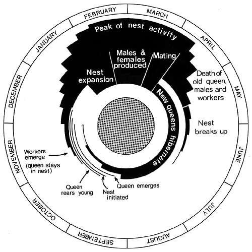 Life cycle of [Vespula] species.