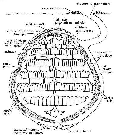 Stylised cross section of a social wasp nest.