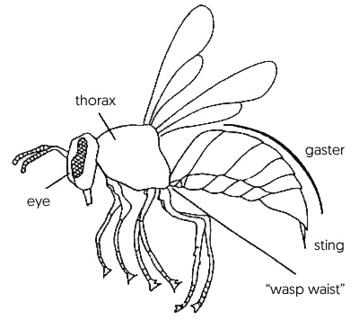 Diagram showing wasp body parts.