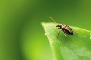 Tradescantia beetle