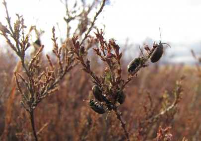 Heather beetles in Tongariro National Park