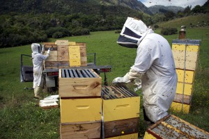 Beekeepers collecting their honey harvest
