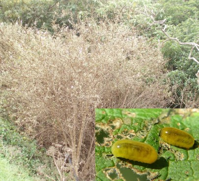 A heavily defoliated buddleia bush in Northland. Inset: Buddleia weevil larvae and damage