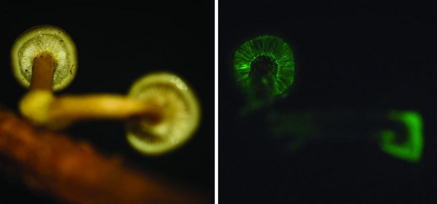 Armillaria novae zelandiae during day and night. Image: David Hera