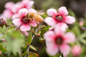 Bee on manuka