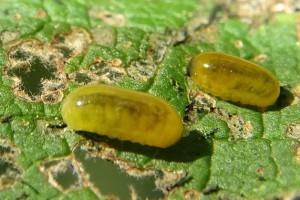 Buddleia weevil larvae and damage