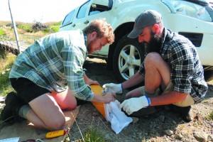 Capturing and collaring mustelids in the Taranaki region.