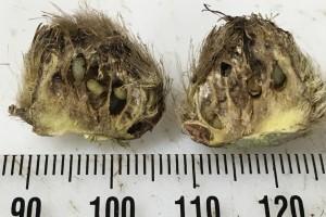 Gall fly larvae inside damaged seedhead