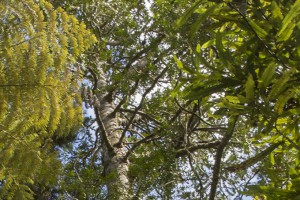 Kauri forest in Cascades