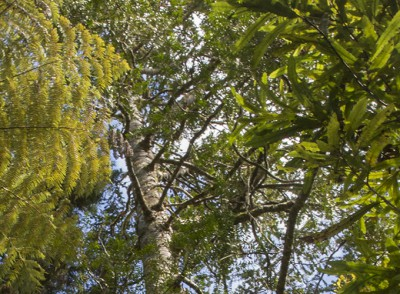 Kauri forest in the Cascades, Waitakere Ranges, West Auckland