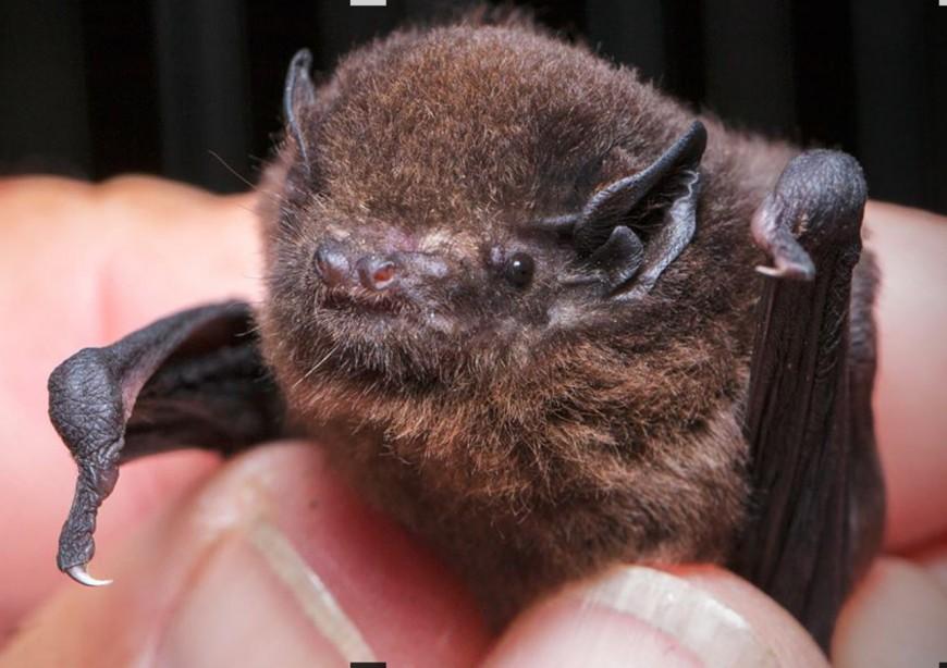 The long-tailed bat – pekapeka whiore roa ([Chalinolobus tuberculatus])