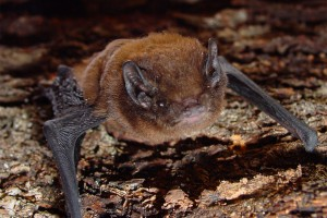 Female long-tailed bat. Image: Colin O'Donnell, DOC