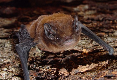 Female long tailed bat. Image: Colin O'Donnell, DOC
