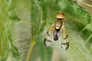 Scotch thistle gall fly. Image: Mike Cripps , AgResearch