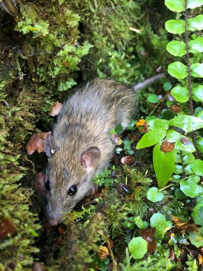 Tagged rat. Image: Morgan Coleman