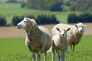 closeup sheepLarge