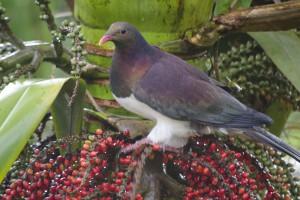Kererū – New Zealand pigeon - [Hemiphaga novaeseelandiae]