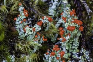 British Soldier Lichen, Cladonia cristatella, lichen growing my Lake Matheson in the Westland Tai Poutini National Park.