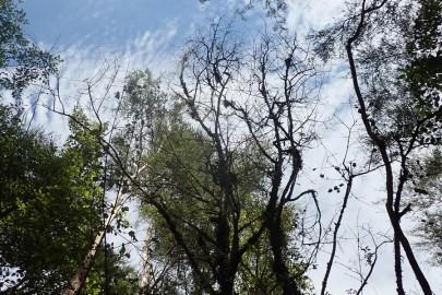 Mature ramarama tree killed by myrtle rust. Image: Roanne Sutherland, SCION.